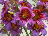 Salpiglossis Royal Purple Bi-Color