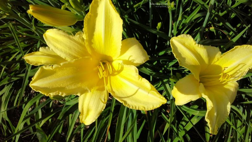 daylily-hudson-valley2