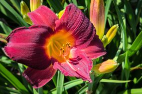 daylily-segramoor