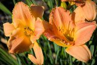 daylily-sirocco
