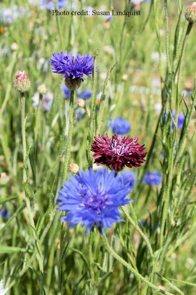 flower-susan-lindquist8