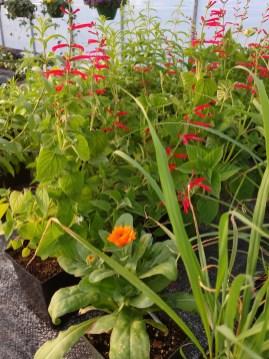 Calendula, Lemon Grass, Sages