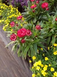 Strawflowers & Mecardonia