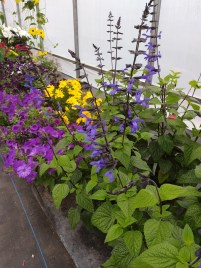 Salvia Black and Bloom