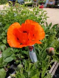 Oriental Poppy Prince of Orange