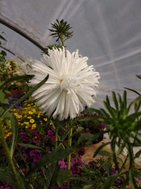 Aster Early Ostrich Plume