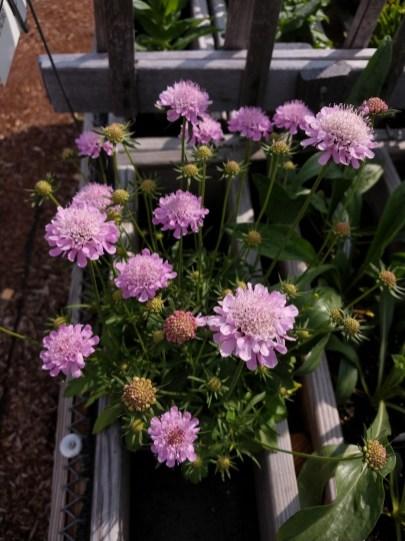 Scabiosa Pincushion Pink