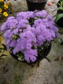 Ageratum Floss Flower dwarf