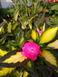 SunPatiens Tropical Rose