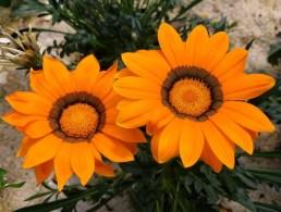 Gaillardia - blooms til frost