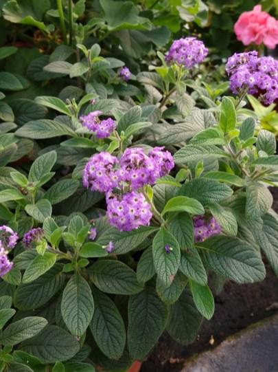 Heliotrope - very fragrant