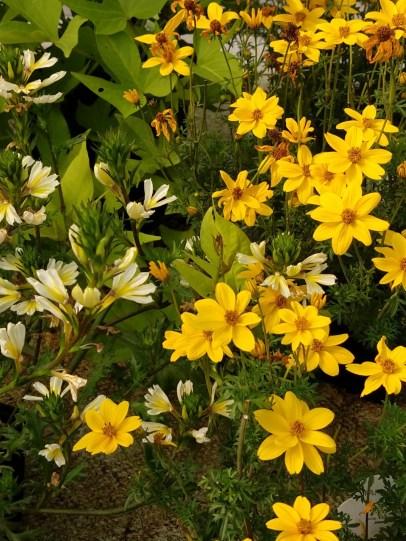 Bidens & Fan Flower