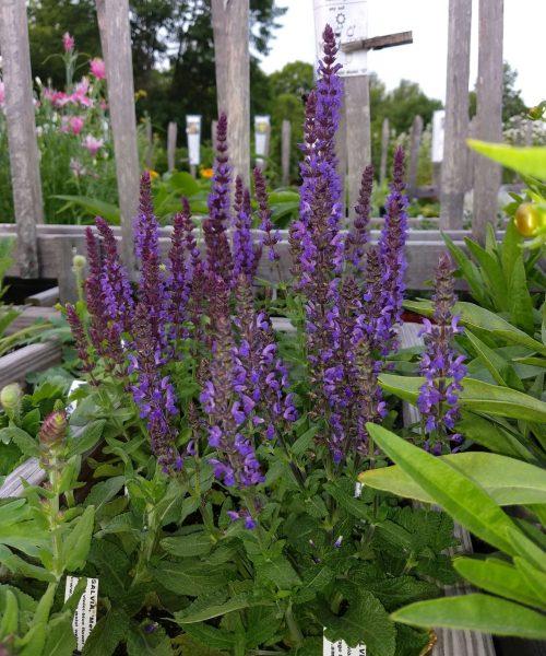 Salvia Merleau Blue