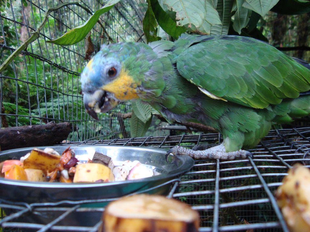 Rescued parrot at the Merazonia animal rescue center in Ecuador