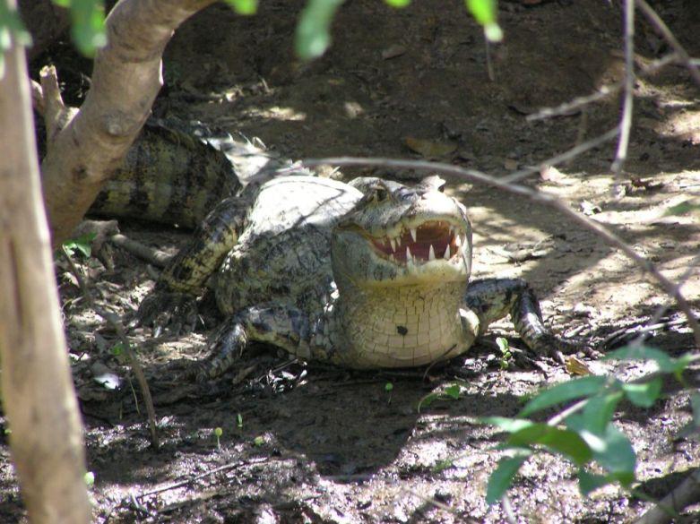 Caiman during Bolivian Pampas Amazon tour