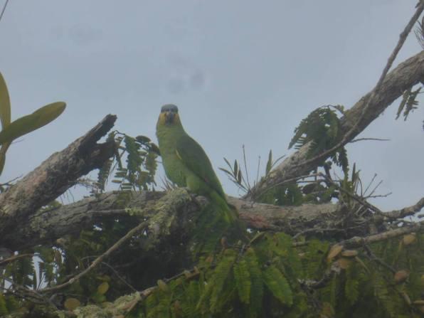 Green parrot in Cuyabeno Amazon Reserve Ecuador