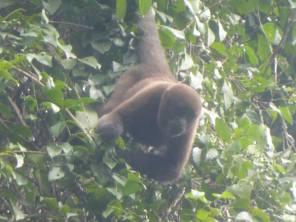 Wooler monkey during Cuyabenoa Amazon tour in Ecuador