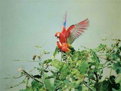 Macaws Inotawa Amazon tour in Peru