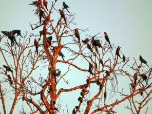 Macaws in tree at TRC Amazon Lodge Peru