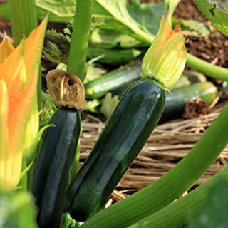 Black Beauty Zucchini Seeds ► Organic Heirloom Zucchini Seeds (25+ Zucchini Seeds) ◄ by PowerGrow Systems
