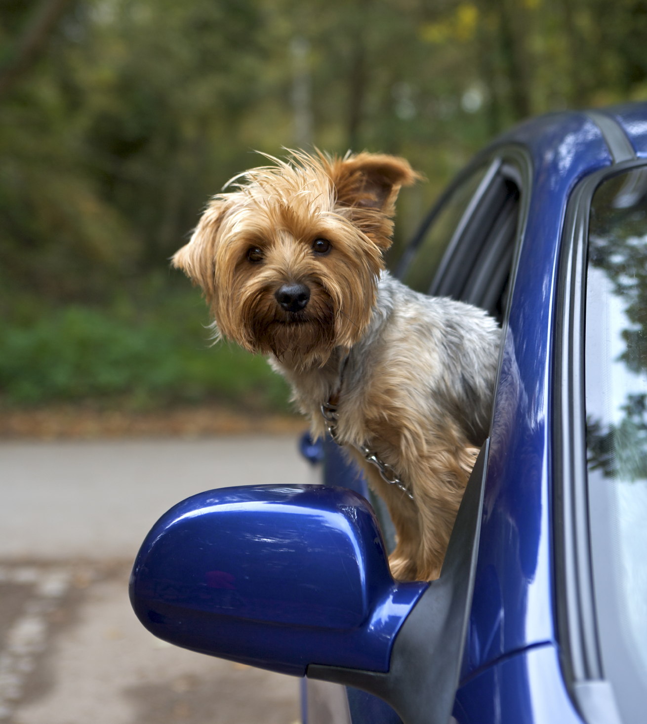 Dog in blue car