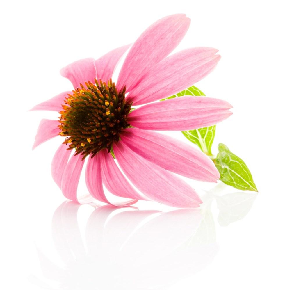 Echinacea flower isolated on white background. Medicinal plant.