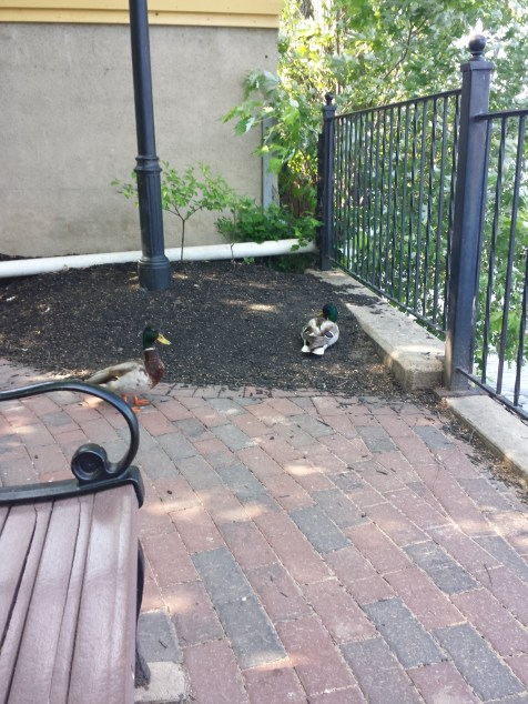 caico new hope ducks (31)