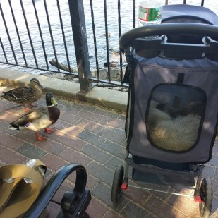 caico new hope ducks (49)