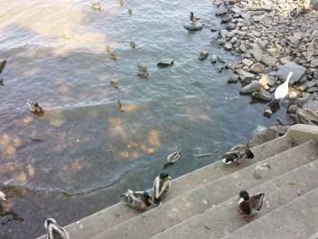caico new hope ducks (5)