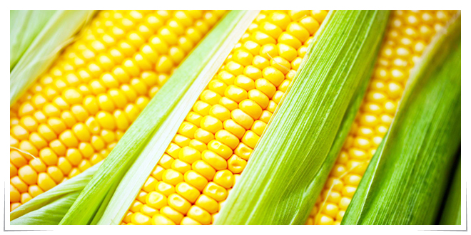 Photo of Empresa mexicana crea fibra basada en fécula de maíz