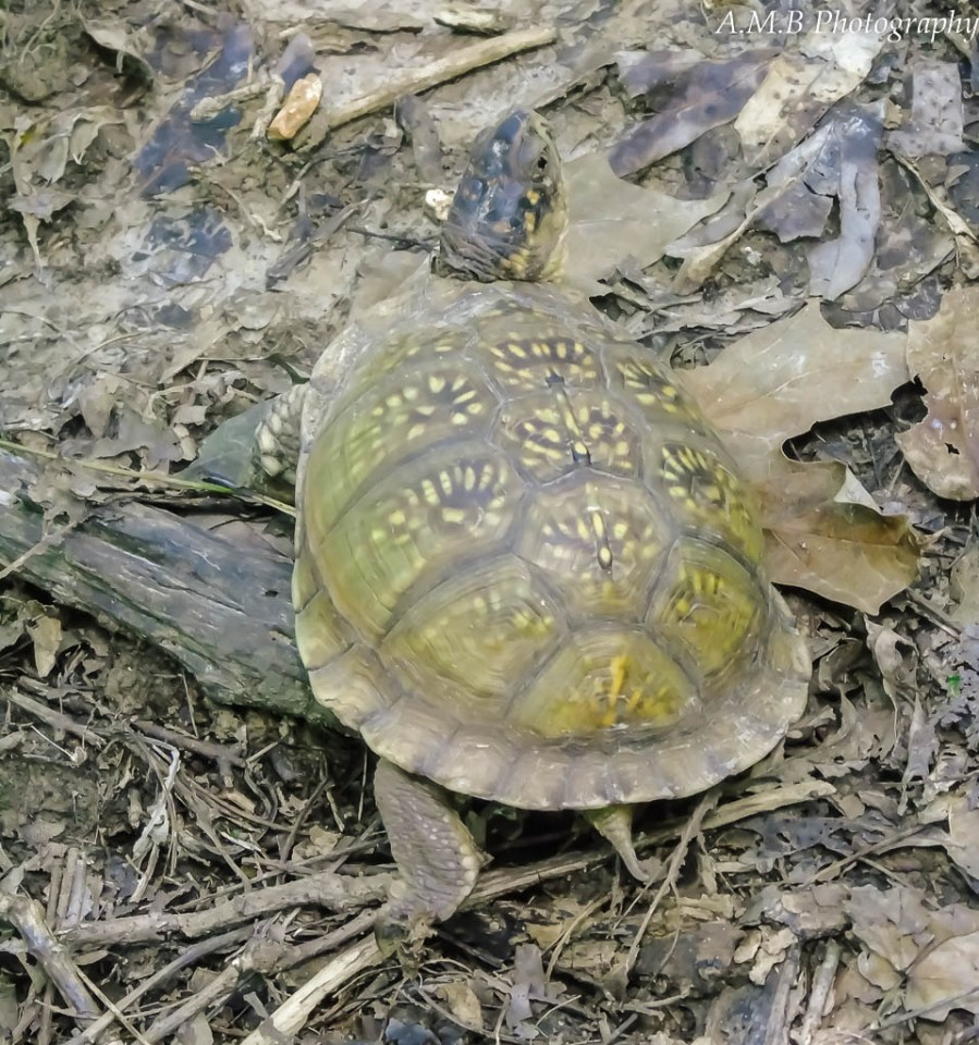 A three toed box turtle holding his pose. He stayed like this for a while, letting me capture a few shots.