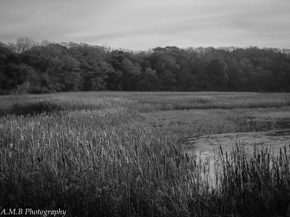 A black and white landscape country print with a line of trees backdropping a small pond and cattails.