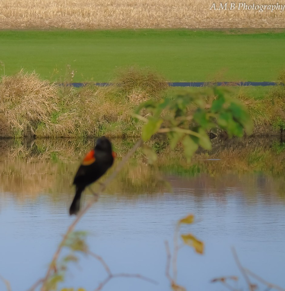 A red-winged blackbird slightly out of focus up against a countryside pond and harvested field.