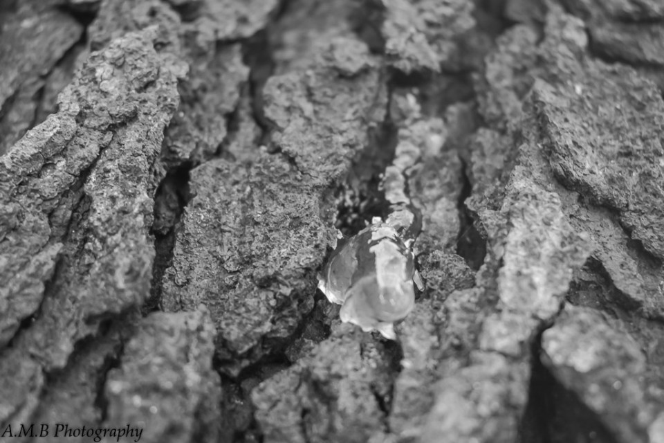 """Fresh Sap"" coming out, captured in macro black and white."