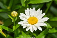 Daisies from our home garden in Peoria, Illinois. Captured the Summer, 2017.
