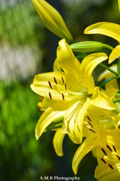 Yellow lillies from our home garden in Peoria, Illinois. Captured the Summer of 2017.