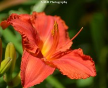 Stunning coral daylilies grew in my garden in Peoria the Summer of 2017. We recently transplanted them to our new home. I am excited for next year!