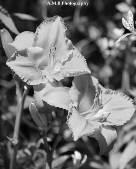 Awesome coral colored daylilies shot in black and white. Captured in the Summer of 2017.