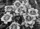 Beautiful pink and peach daylilies shot in black and white. From our garden in Peoria, captured the Summer of 2017.