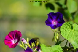 Just two of a mass of pink & purple morning glories growing along our fence line in Peoria, Illinois. Captured the Summer of 2017.