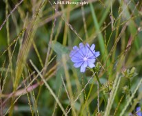 One morning in the late summer of 2017 I was photographing our new garden beds at our home in Dana, IL. I decided to let a section of our yard grow wild. This is a wild cornflower growing amongst several different kinds of grasses. Such quaint beauty!
