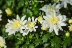 A macro shot of white mums I recently planted along the sidewalk leading to our front door. Captured in the late summer of 2017.
