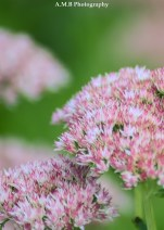 Autumn Joy sedum from our home garden in Peoria. Captured in the late summer of 2017.