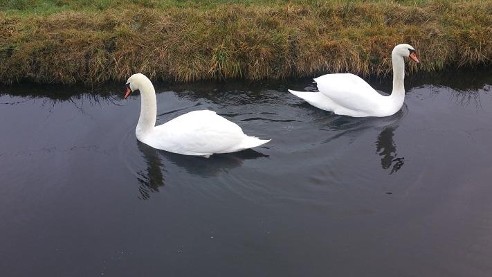 Zwanen tijdens het wandelen over het Groot Frieslandpad