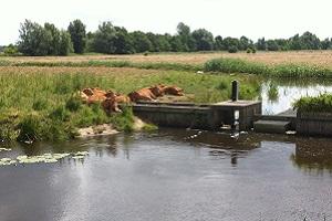 Wandelen over het Drenthepad bij koeien langs de Drentsche Aa
