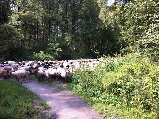 Schaapskudde Holtingerveld op wandeling over Drenthepad van Uffelte naar Wittelte