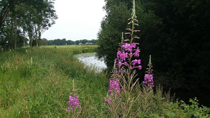 Wandelen over het Groot Frieslandpad bij bloemen bij Westerwoldsche Aa