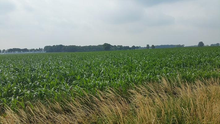Wandelen over het Hugo de Grootpad bij maïsvelden richting Baarlesebaan