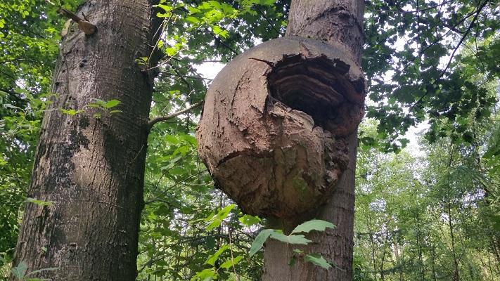Wandelen over het Hugo de Grootpad bij boom