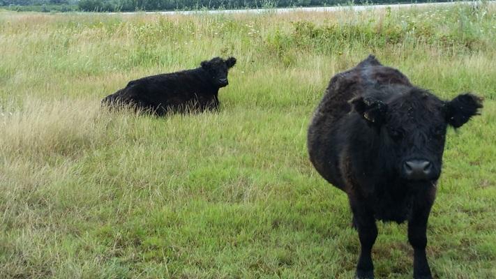 Koeien in uiterwaarden van de Maas op een wandeling over het Maaspad van Berg aan de Maas naar Maaseik